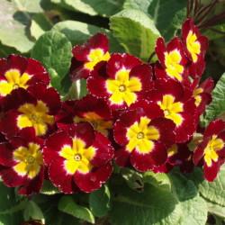 Цветки примулы