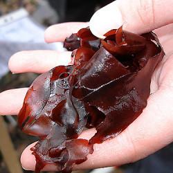 Темно-красная съедобная водоросль