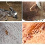 Лечение вшей и гнид у крупного рогатого скота – лекарства и препараты, народные средства