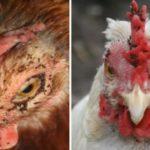 Куриные вши – как избавиться и чем вывести птичьих паразитов, препараты и народные средства