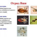 К какому отряду насекомых относятся вши, особенности и характеристики
