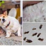 Собачьи вши и гниды – как выглядят и чем лечить, можно ли заразиться и лучшие средства против линогнатоза у собак