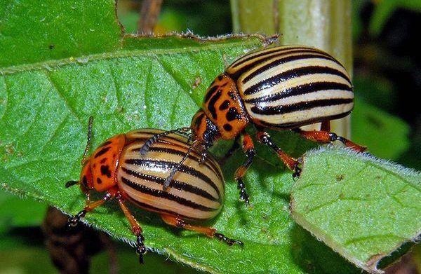 насекомые в сельскохозяйственных культурах